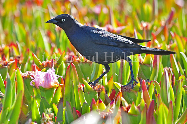 Brewer Blackbird, hopping on ICE Lily
