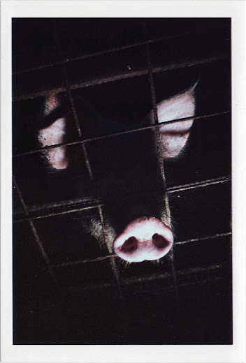 dirty photos - noah's ark fauna photo of pig's head through fence