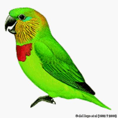 Salvadori´s fig parrot