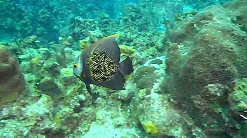 Jo Artee: Dive Live! Juvenile French Angelfish, Butter Hamlet ...