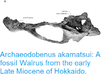 http://sciencythoughts.blogspot.com/2015/08/archaeodobenus-akamatsui-fossil-walrus.html