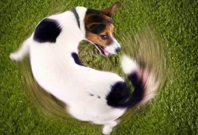 Rabo balançando cachorro