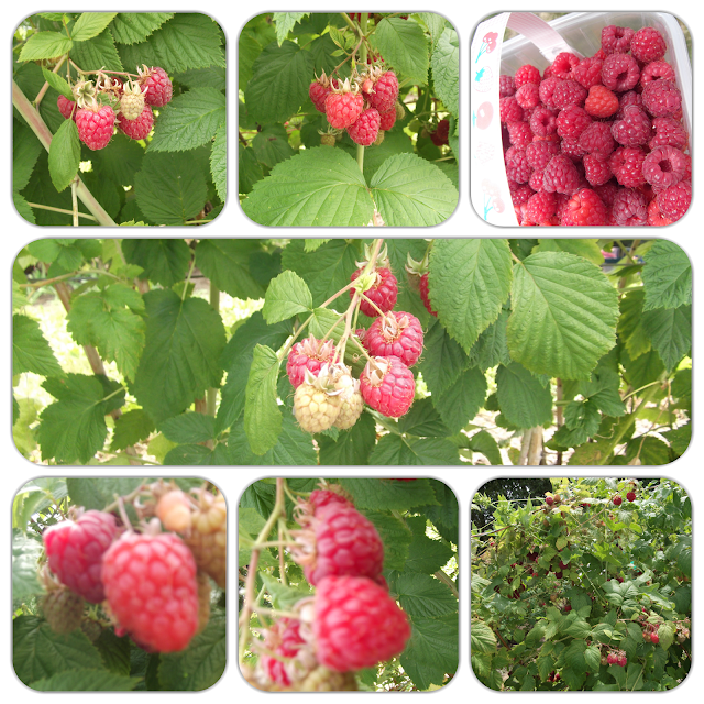 grove farm pick your own raspberry