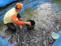 Tips Dan Cara Budidaya Serta Ternak Ikan Lele