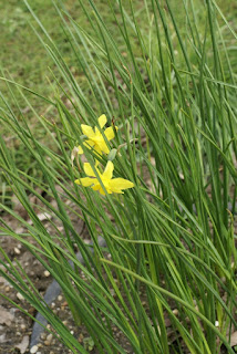 Jonquille odorante - Narcissus x odorus - Narcisse