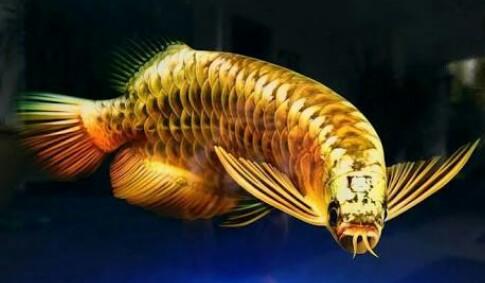 Macam-macam Ikan Arwana