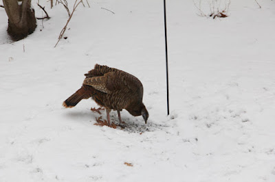 hen turkey checking under feeder