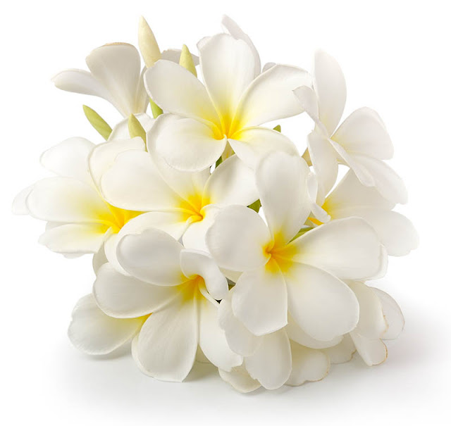 صور لزهرة الياسمين