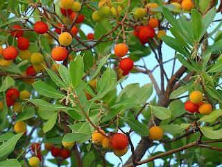 Arbutus unedo o Madroño en el bosque de alimentos
