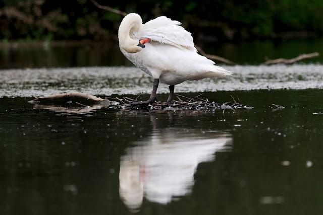 schwan wasservogel