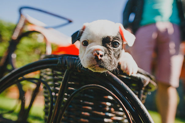 bulldog-puppy-cute-dog-photography-17