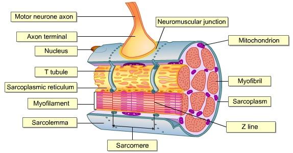 BIOLOGY FORM 6 NEUROMUSCULAR JUNCTION II - neuromuscular junction