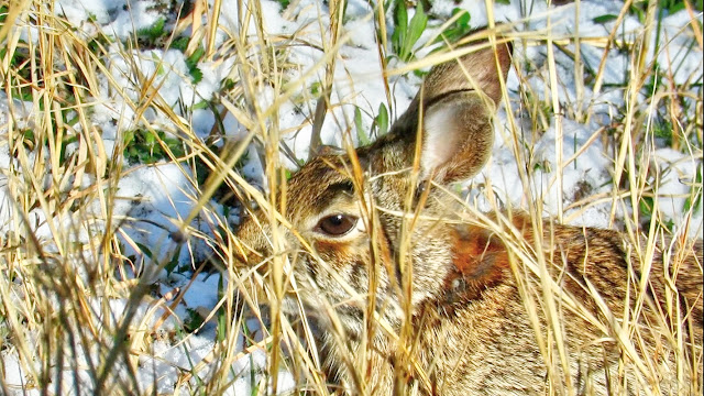 Cottontail Rabbit Camouflage