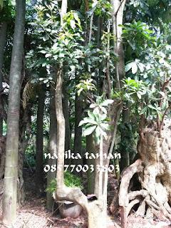 Jual Pohon Pule / Pulai | Harga Pohon Pule Murah | Jasa Tukang Taman