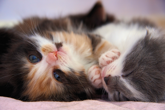 Kittenhood: capture a kitten on camera for International Cat Care (iCatCare) photo competition
