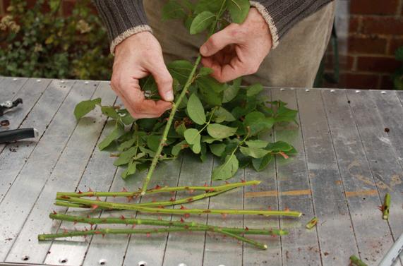 DIY : Teknik Tanam Pokok Bunga Rose