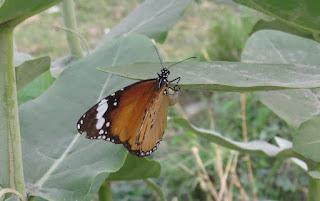 Danaus chrysippus, Plain Tiger