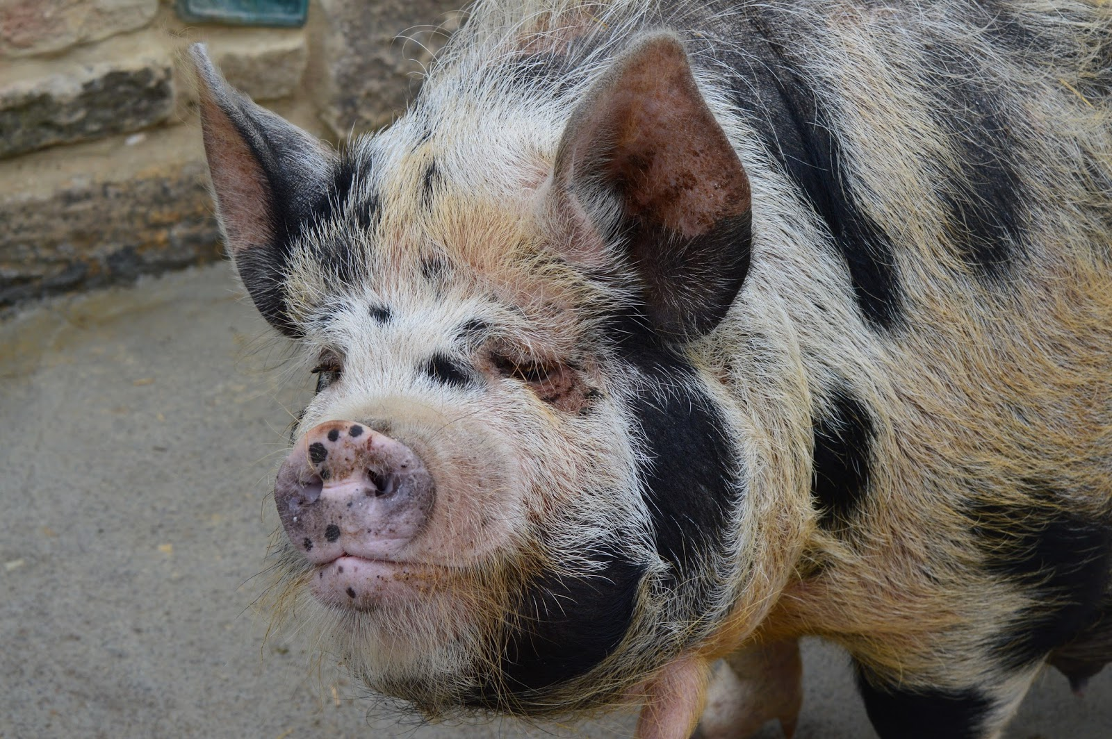 Overnight Stay at South Causey Inn | County Durham - Animals Pigs