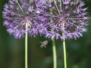 пчела и цветы