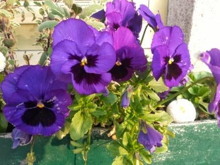 Stiefmütterchen - ungiftige Pflanzen