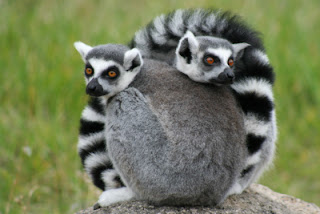 Lémures - Madagascar