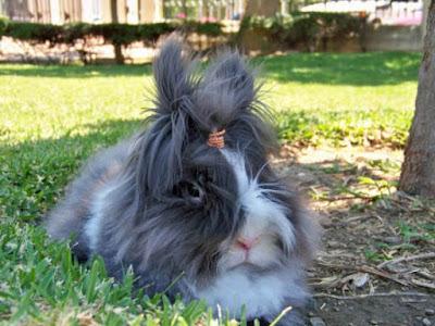 imagen de conejo peludo y chascon
