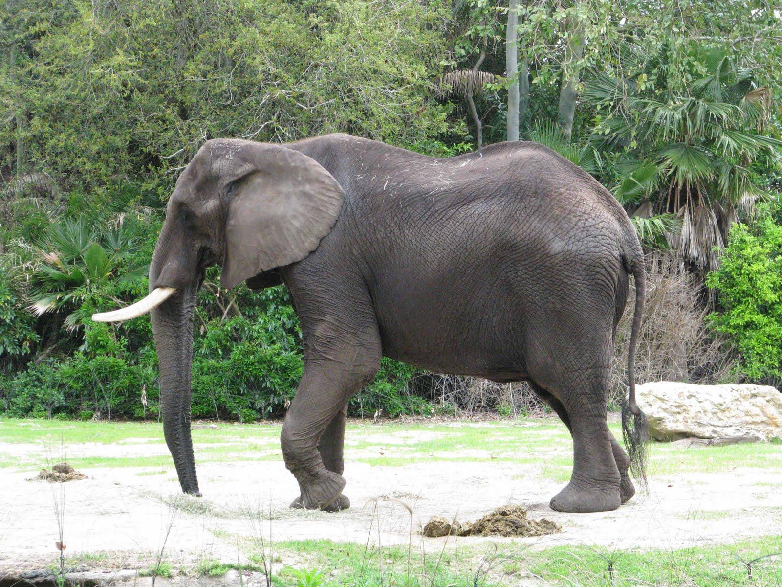 elephant animal kingdom disney elephants african north herd america largest growing herds making