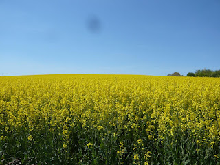 Ein Feld voller gelber Rapsblüten