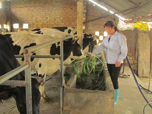 Chăn nuôi bò sữa ở Ba Vì đang gặp nhiều khó khăn (Ảnh: Thắng Văn)