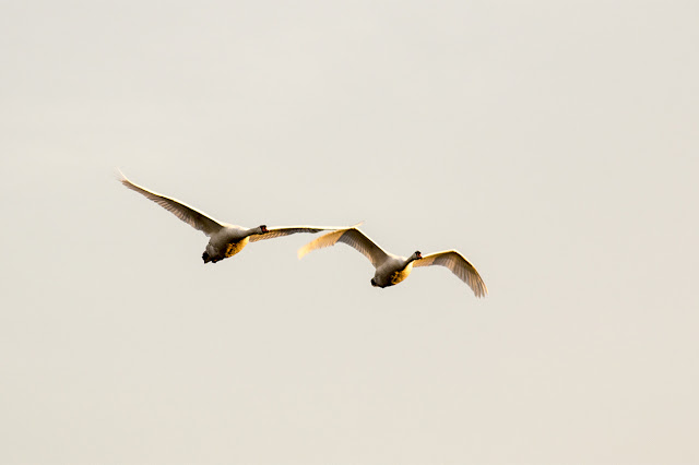 A couple of Mute Swans Flying over in the golden light of morning