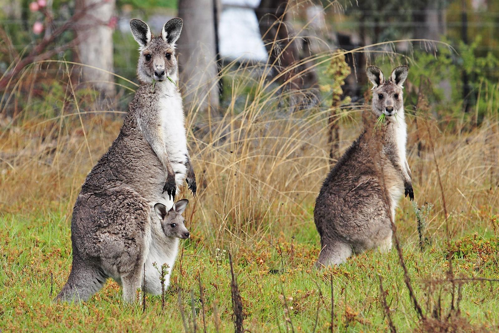 United We Love You Kangaroo Facts