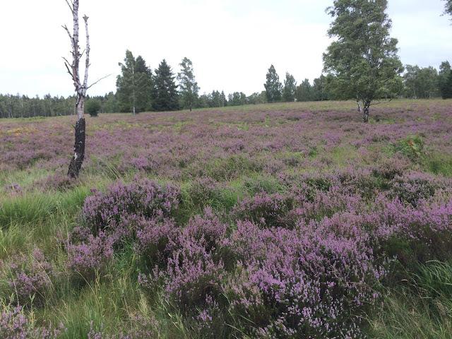 Die Heide blüht im hohen Venn