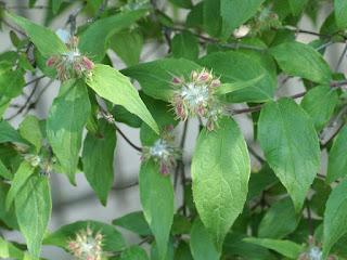 Kolkwitzie aimable - Kolkwitzia ravissant - Buisson de beauté - Joli buisson - Kolkwitzia amabilis