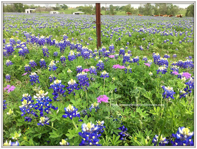 Texas Bluebonnets-Field-Wildflowers-From My Front Porch To Yours