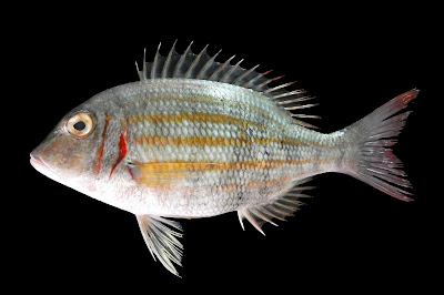 Jenis - Jenis Ikan Air Laut Ekonomis Penting [Bagian 12]