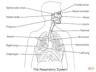 coloring pages respiratory system - respiratory system coloring page insured by laura