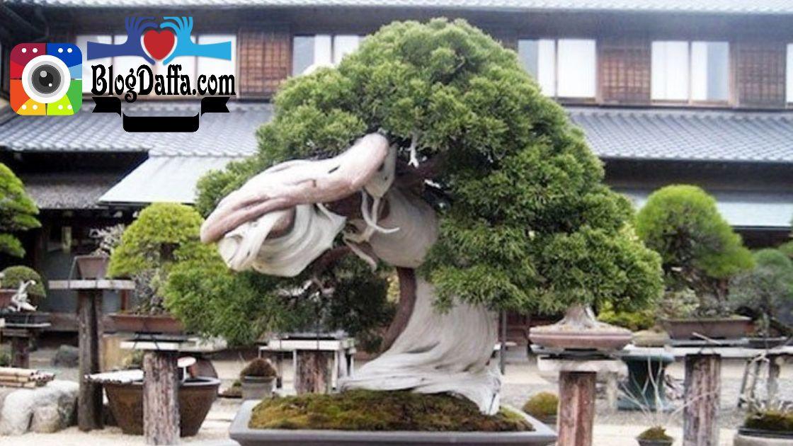 Cara menanam bonsai beringin