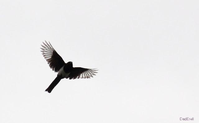 Premier vol de la pie