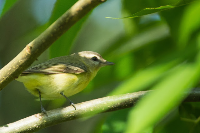 Philadelphia Vireo, Smith Oaks Sanctuary