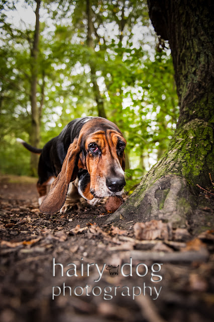 A basset hound photograph at Gosforth by Hairy Dog Photography