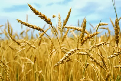 #Trigo, História, Plantio e Colheita do Trigo