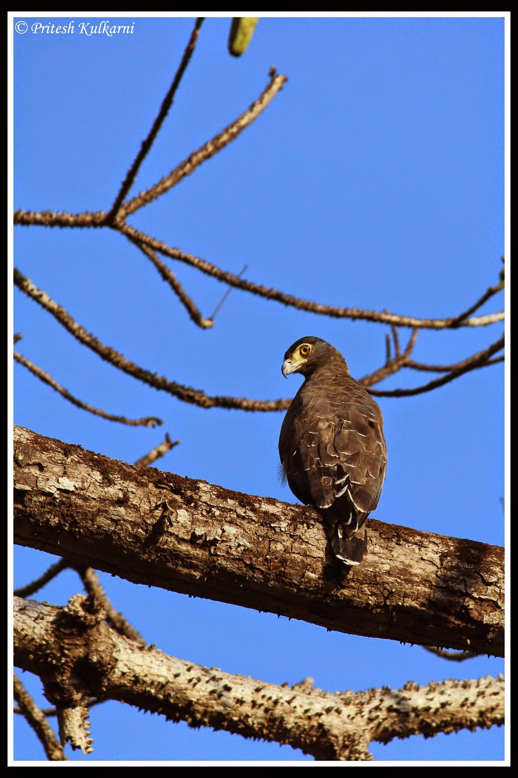 Crested Serpent Eagle...