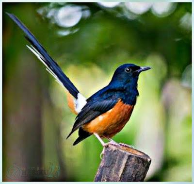 Murai batu Lampung merupakan salah satu jenis burung murai yang dikenal sebagai burung kic Ciri-Ciri Murai Batu Lampung