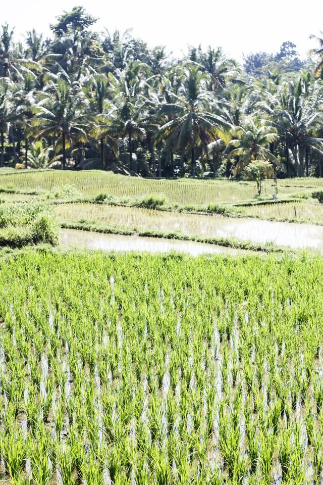 arrozales Ubud, Bali