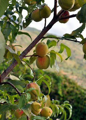 Peach Tree in Castagnoli, Italy - Photo by Taste As You Go