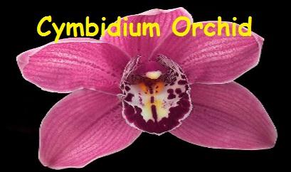 Cymbidium Orchid Flowers