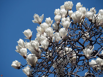 Haku-mokuren (Magnolia heptapeta) flowers: Engaku-ji