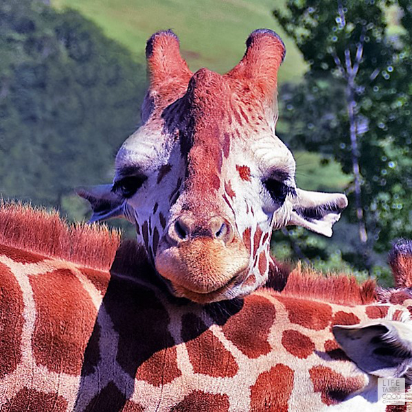 Safari West: Winos and Rhinos in California's Wine Country | by Life Tastes Good