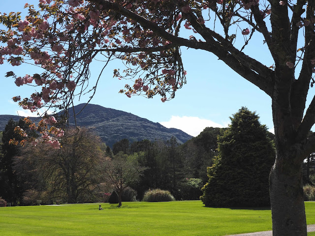 kirsikkapuu, vuori, killarney, Mucross garden