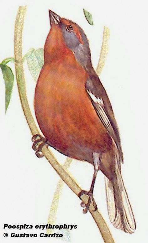 Rusty browed Warbling finch